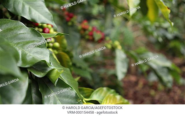Coffee plantation in rural area