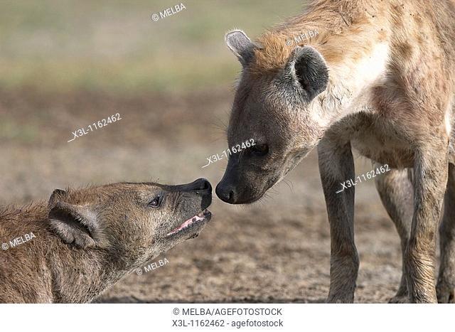 Crocuta crocuta Spotted hyena Ngorongoro conservation area Tanzania Africa