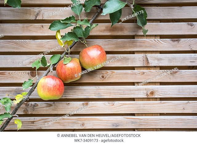 Close up apple tree branch with red tasty apples on a fence background texture . healthy fruit