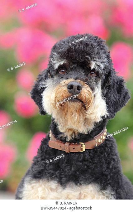 Poodle (Canis lupus f. familiaris), five years old she-dog, portrait, Germany
