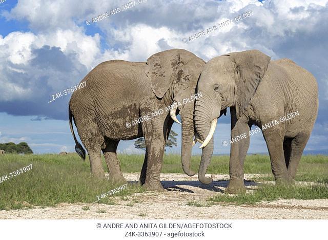 Two African elephant (Loxodonta africana) bull standing together resting, Amboseli national park, Kenya