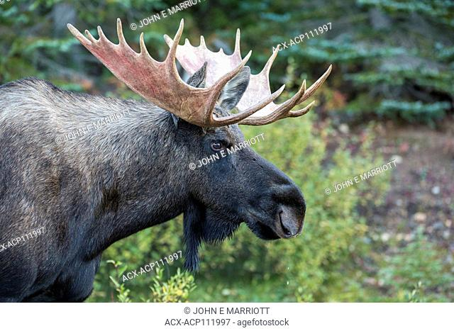 Bullk Moose, Alces alces, British Columbia, Canada