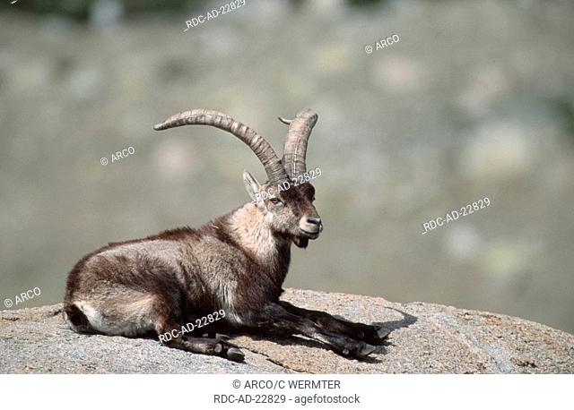 Spanish Ibex male Sierra de Gredos Spain Capra pyrenaica victoriae
