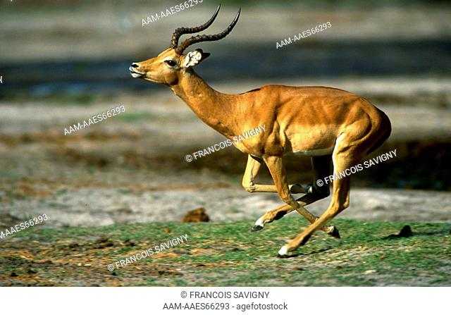 Impala ram leaping during the rutting season Moremi National Park - BOTSWANA