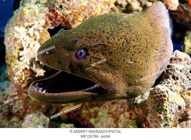 Mediterranean moray (Muraena helena) Red sea, Egypt