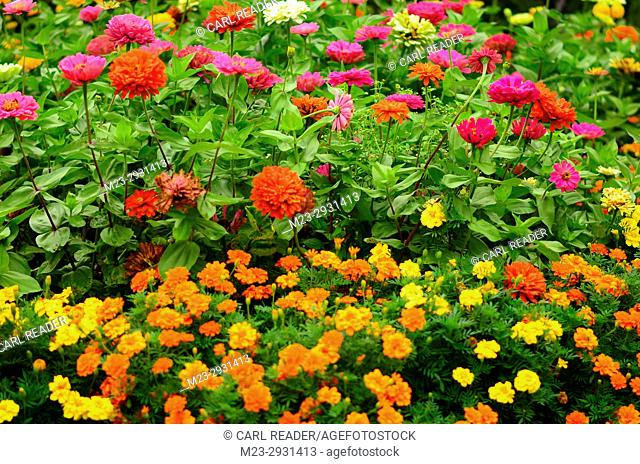 Zinnias and marigolds clustered together in soft-focus, Pennsylvania, USA