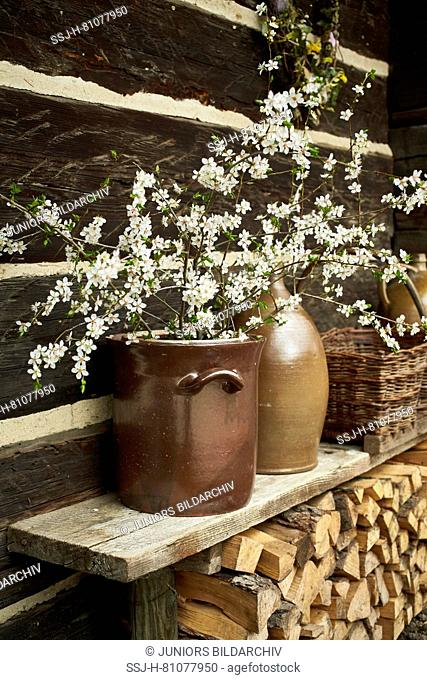 Flowering cherry twigs (Prunus avium) in a jar in front of a wooden shed. Germany