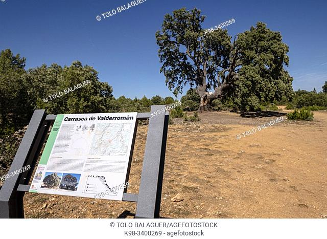 Carrasca de Valderromán, Quercus ilex, Soria, comunidad autónoma de Castilla y León, Spain, Europe