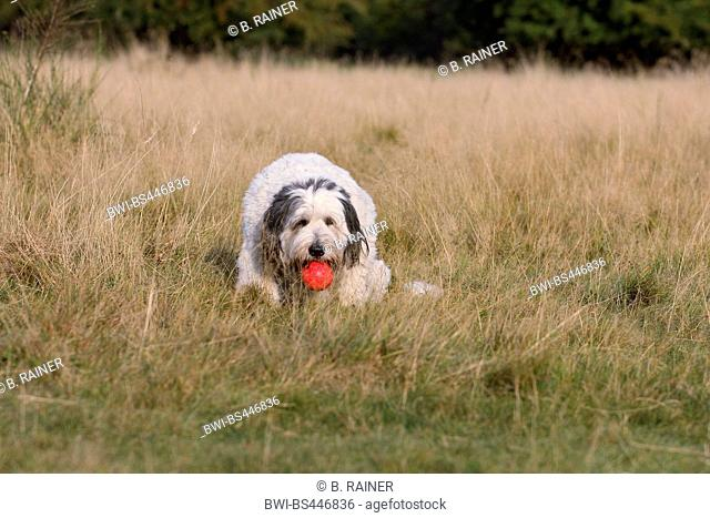 Polish Lowland Sheepdog, PON (Canis lupus f. familiaris), three years old trimmed she dog sitting on dried grass with a red ball in the mouth, Germany