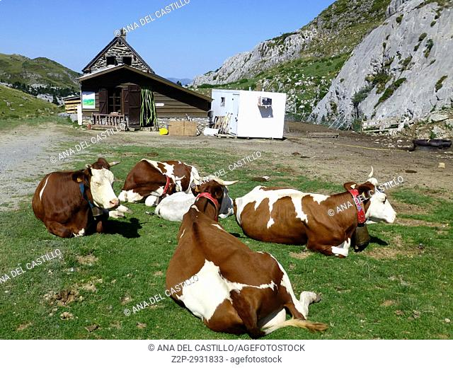 Valle de Roncal landscape in Navarre Spain Cows in French farm