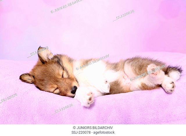 Shetland Sheepdog. Puppy (6 weeks old) sleeping on a pink blanket. Studio picture against a pink background