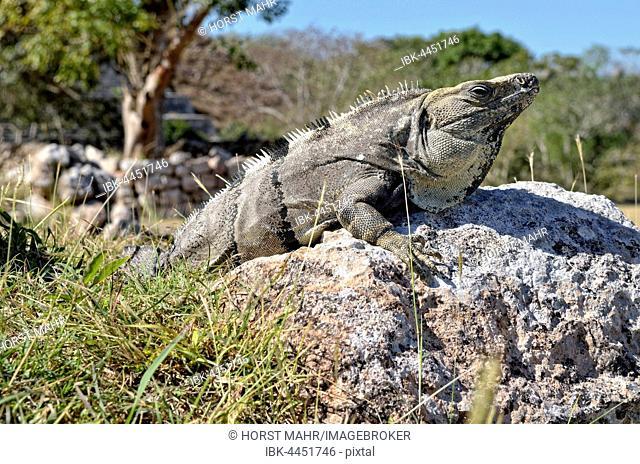 Black spiny-tailed iguana, also black iguana or black ctenosaur (Ctenosaura similis) basking on stone, Maya city of Uxmal, Yucatan, Mexico