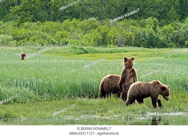 North America, the USA, Alaska, Katmai national park, Kukak Bay, brown bear, Ursus arctos
