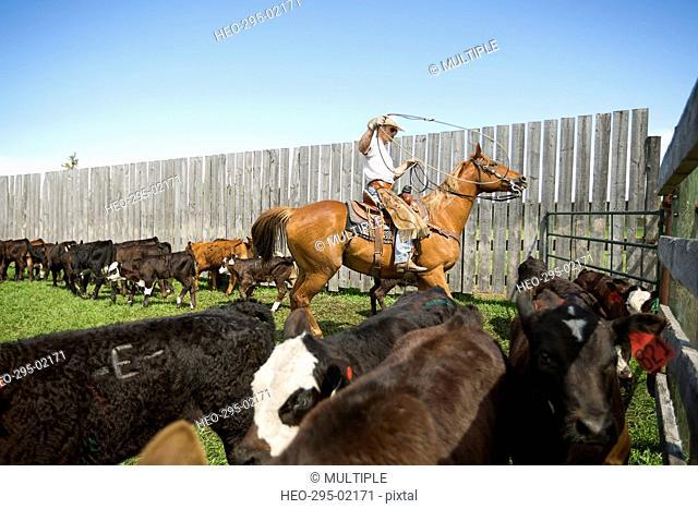 Cattle rancher on horseback lassoing cows
