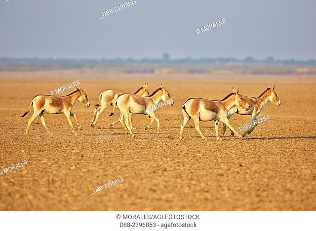 India, Gujarat, Little Rann of Kutch, Wild Ass Sanctuary, Indian wild asses (Equus hemionus khur) , Khur