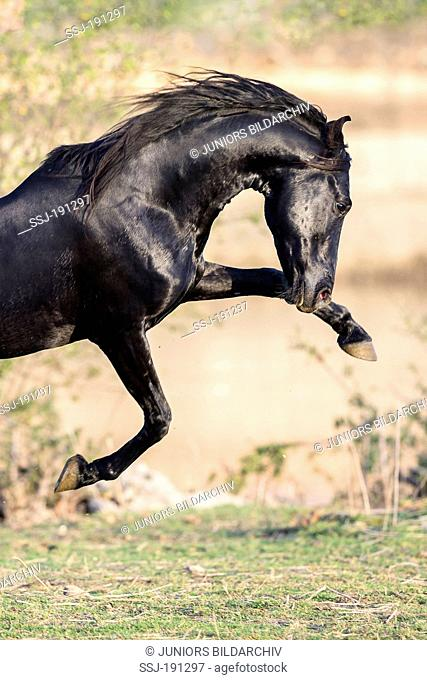 Marwari Horse. Black stallion showing display behaviour in a pasture. India