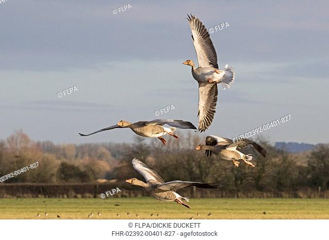 Greylag Goose (Anser anser) four adults, in flight, with one 'whiffling', Gloucestershire, England, December