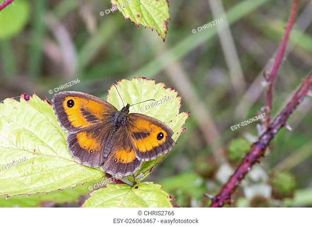 Gatekeeper Butterfly (Pyronia tithonus) perched on a leaf
