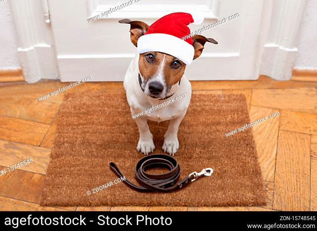 jack russell dog waiting a the door at home with leather leash, ready to go for a walk with his owner for christmas ot xmas holidays with red santa claus hat