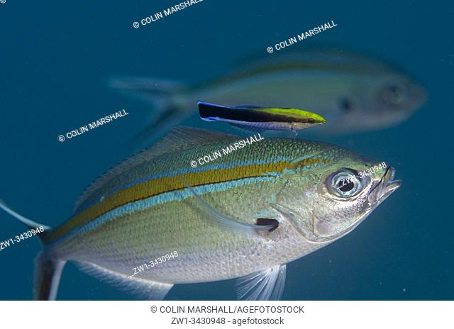 Scissortail Fusilier (Caesio caerulaurea, Caesionidae Family) being cleaned by a Bluestreak Cleaner Wrasse (Labroides dimidiatus, Labroidei Family)