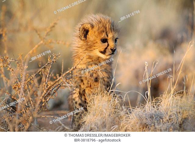 Cheetah (Acinonyx jubatus), male cub, 41 days, in evening light, captive, Namibia