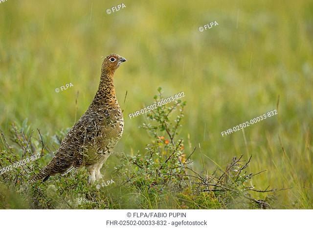 Willow Grouse (Lagopus lagopus) adult male, breeding plumage, standing on tundra during rainfall, Dovrefjell-Sunndalsfjella N.P