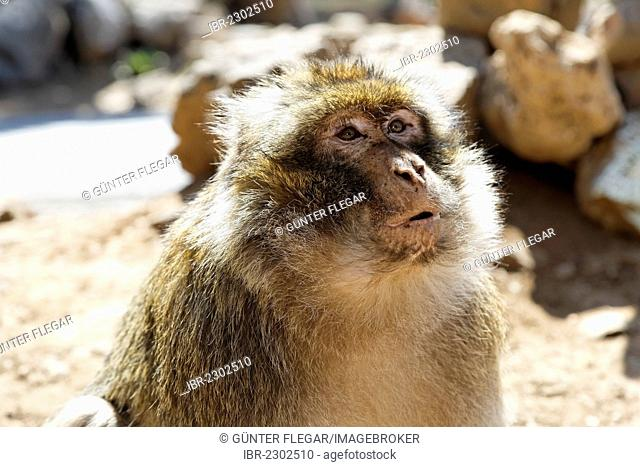 Barbary macaque (Macaca sylvanus), at the national park near Ifrane, Meknes-Tafilalet, Morocco, Maghreb, North Africa, Africa