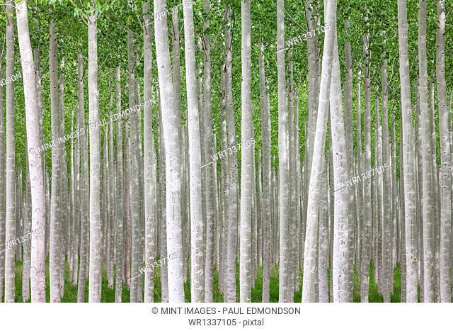 Poplar tree farm or tree plantation in Oregon