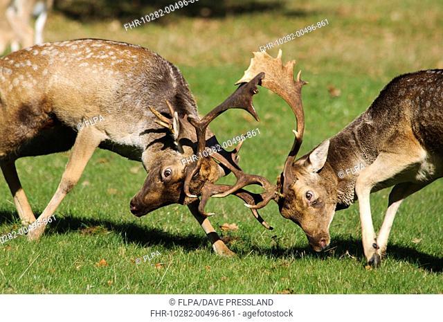 Fallow Deer Dama dama two bucks, fighting during rutting season, Richmond Park, London, England, october