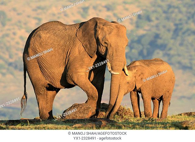 The sun has just risen and this mother and baby elephant have found some edible shoots to eat. They are removing the shoots with their trunks