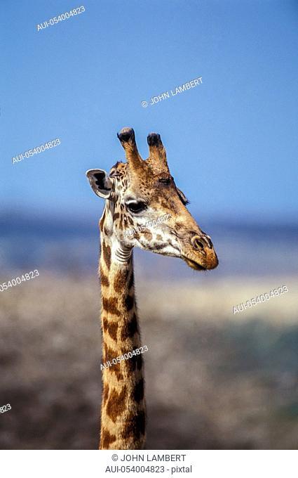africa, tanzania, giraffe head