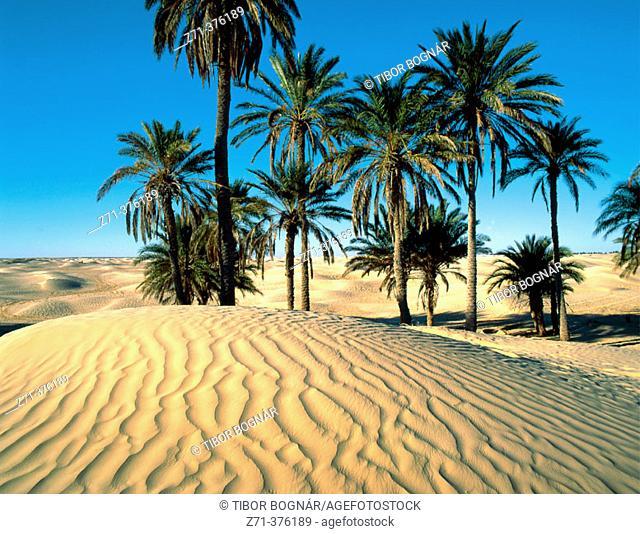 Sand dunes, palms. Grand Erg Oriental, Sahara Desert. Tunisia