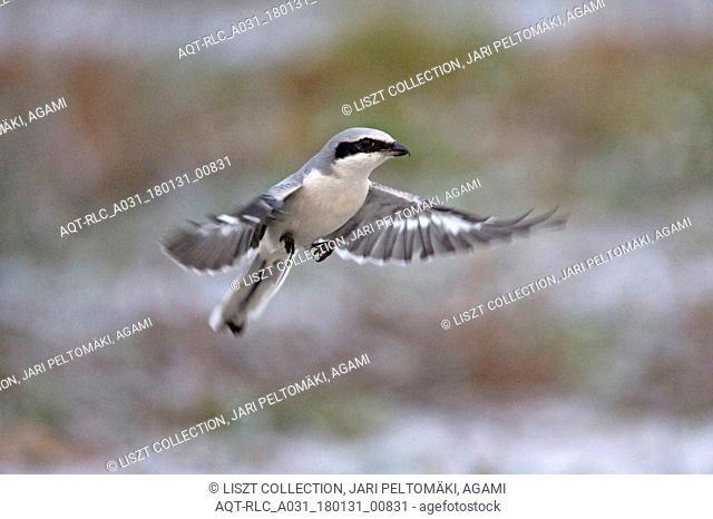 Great Grey Shrike looking for prey, Great Grey Shrike, Lanius excubitor