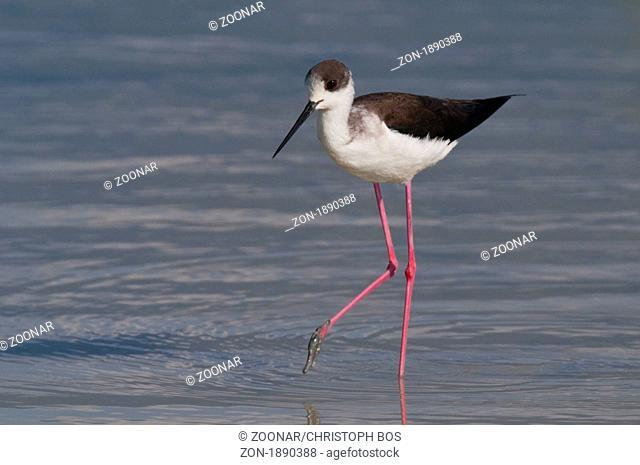 Stelzenläufer Himantopus himantopus - Black winged Stilt