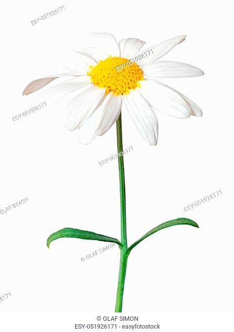 White Daisy (Marguerite) isolated on white background, including clipping path. Germany