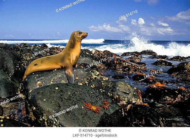 Galapagos Sea-lion, Zalophus californianus, and Sally Lightfoot Crabs, Grapsus grapsus, on rocky coast, Galapagos Islands, Ecuador