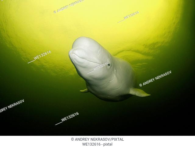 Beluga whale or white whale (Delphinapterus leucas), White sea, Karelia, Arctic, Russian Federation