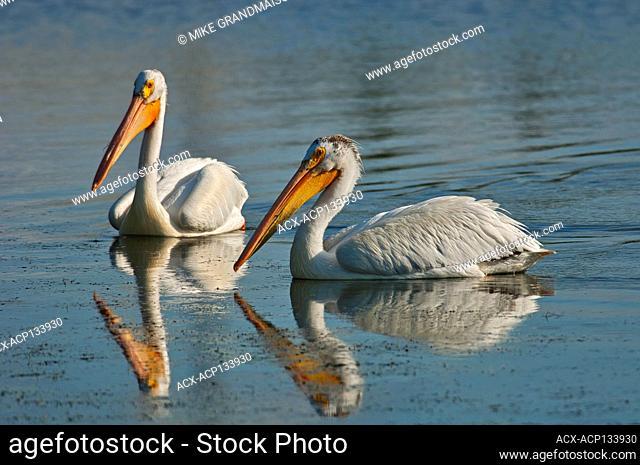 American white pelican ( Pelecanus erythrorhynchos) in man-made pond Winnipeg Manitoba Canada