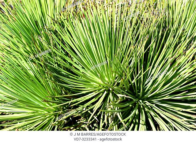 Narrow-leaf agave (Agave striata) is a perennial plant native to Mexico. Leaves in rosette detail