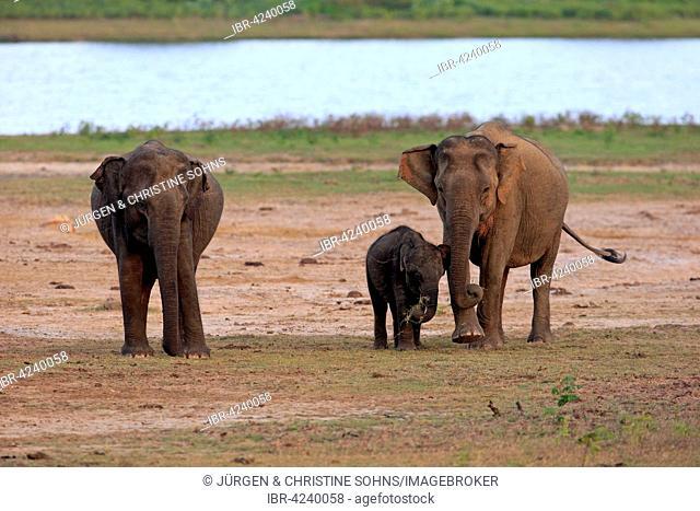 Sri Lankan elephant (Elephas maximus maximus), group with mother with calf, eating, female, group, Yala National Park, Sri Lanka