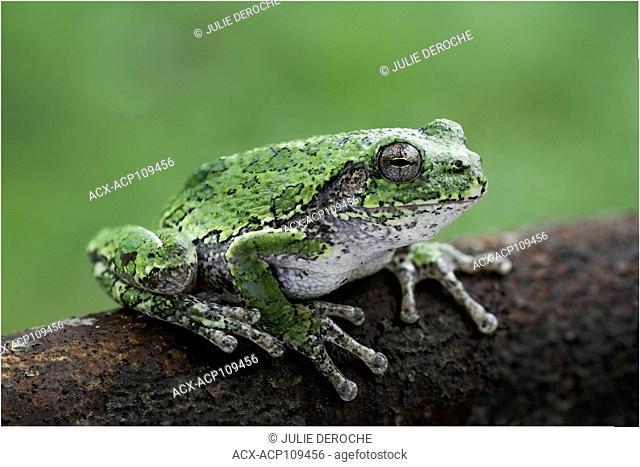Common Grey Treefrog, Hyla versicolor, North Bay, North Eastern Ontario, Canada
