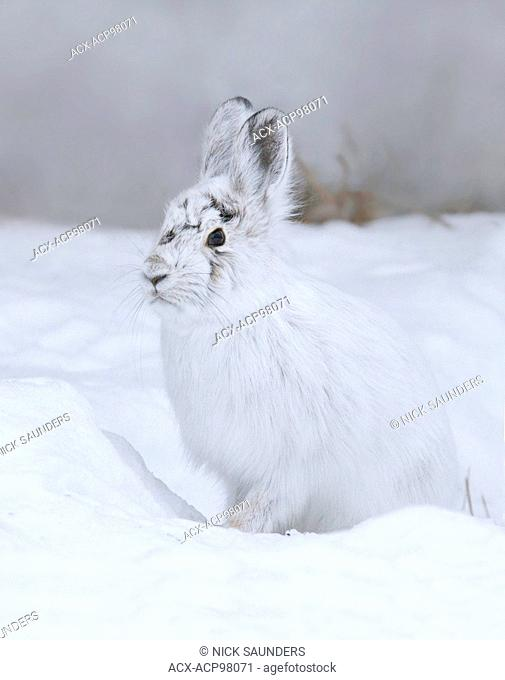 Snowshoe hare (Lepus americanus), also called the varying hare, or snowshoe rabbit, is a species of hare found in North America