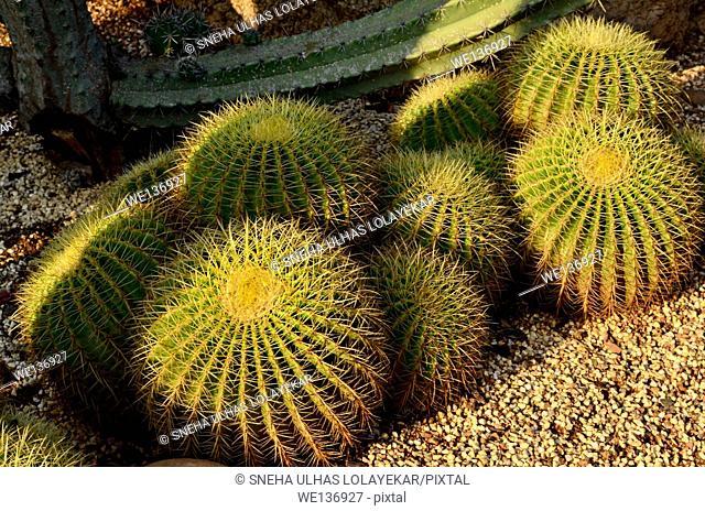 Barrel cactus ,India