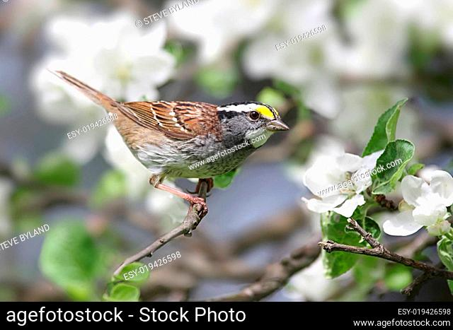 American Goldfinch With Apple Blossoms