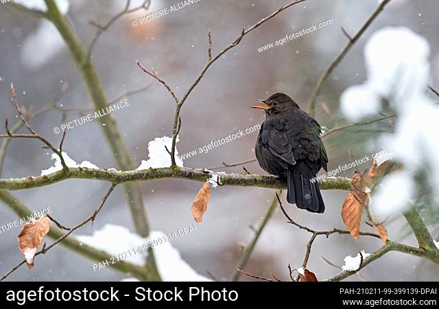 09 February 2021, Brandenburg, Eberswalde: A blackbird (Turdus merula) sits on a branch in winter. Photo: Patrick Pleul/dpa-Zentralbild/ZB