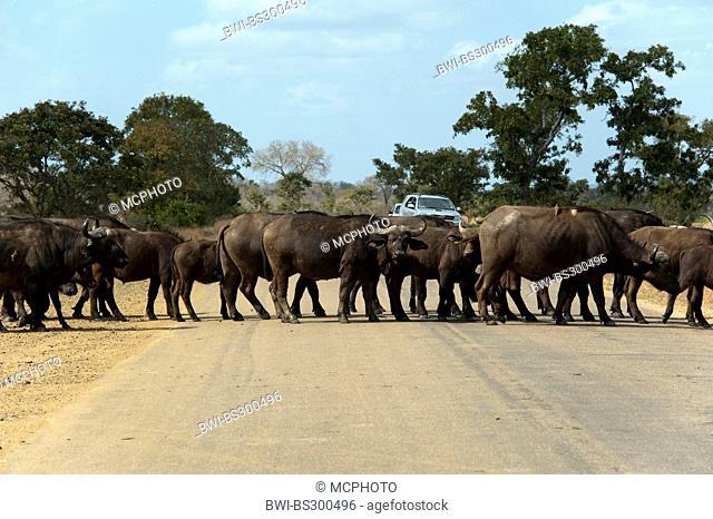 African buffalo (Syncerus caffer), herd crossing a road through the savannah, South Africa, Krueger National Park