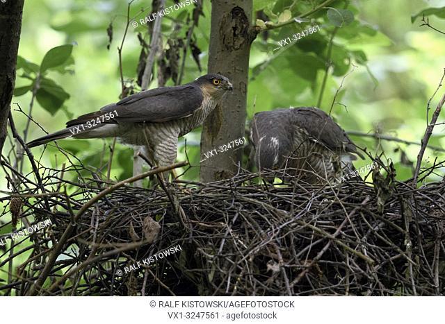 Sparrowhawks / Sperber ( Accipiter nisus ), male and female, pair, couple, building their eyrie, hidden nest, preparing breeding season