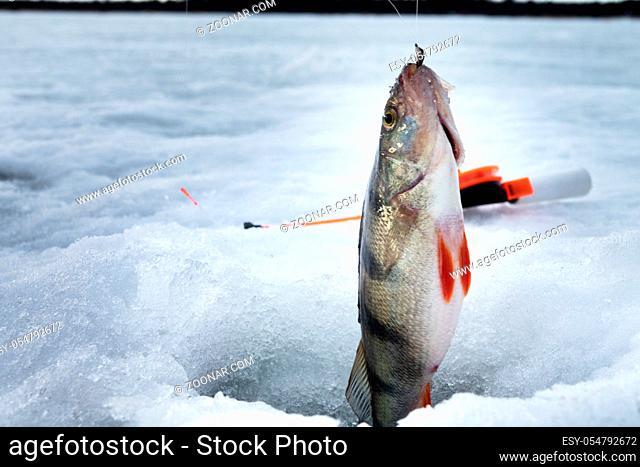 Fish perch in the hole in ice. European perch (Perca fluviatilis). Ice fishing