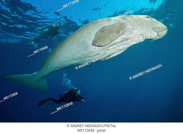 Female scubadiver looks at Dugong or Sea Cow (Dugong dugon) swims under surface of blue water. Red Sea, Hermes Bay, Marsa Alam, Egypt, Africa