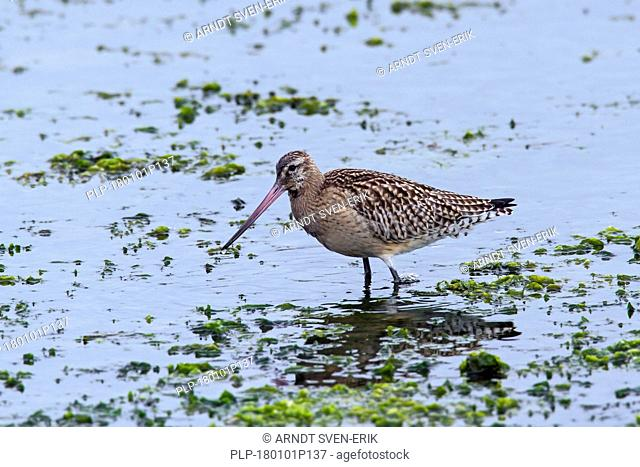 Bar-tailed godwit (Limosa lapponica) foraging in saltmarsh in winter plumage / non-breeding plumage
